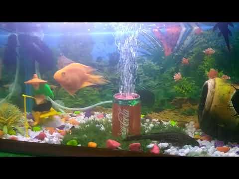 Parrot Fish Black Ho To Kise Thik Kre