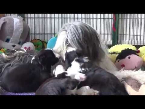 Bearded Collie puppies - 23 March 2019