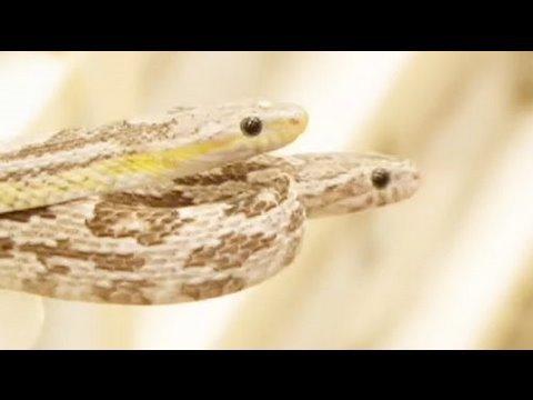 Snake Bytes TV - Corn Love!