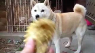 ボール待ちする柴犬。
