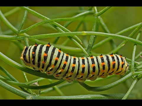 Metamorphosis (Swallowtail) from YouTube · Duration:  9 minutes 32 seconds