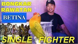 Download lagu Setingan Betina Single Fighter, harian dan lomba