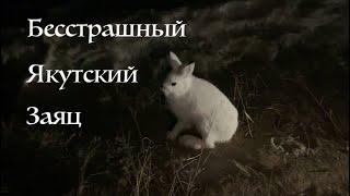 Бесстрашный Якутский Заяц