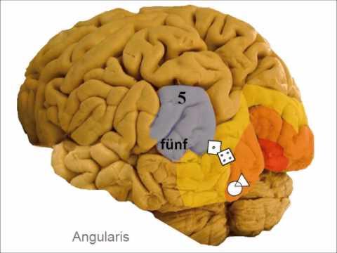 Verstehen und Denken - Informationsverarbeitung im Gehirn Teil 4 ...