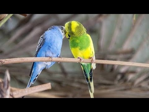 Badri bird's breeding and health tips   ( Bengali)