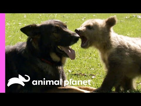 A Baby Bear And A German Shepherd Become The Best Of Friends! | Too Cute!