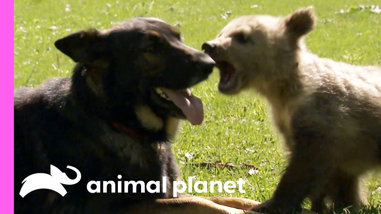 A Baby Bear And A German Shepherd Become The Best Of Friends Too Cute Youtube