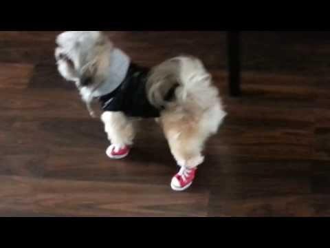 cute-dog-wearing-converse-running-shoes-3