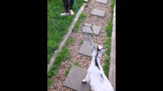 Pygmy Goat Training Part 1