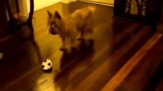 Австралийский терьер Silky играет с мячом