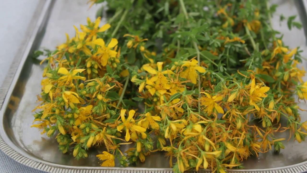 Kantaron Yağı nasıl yapılır#bebek pişiği bitkisel çözüm#yara#kantaron çiçeği#sivilce bitkisel çözüm