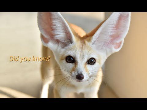 Fennec Fox Facts - Part 1