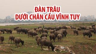 Nuôi hơn 200 con trâu giữa Hà Nội, doanh thu tiền tỉ mỗi năm