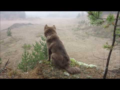 Just Ada - A short film about a Finnish Lapphund puppy