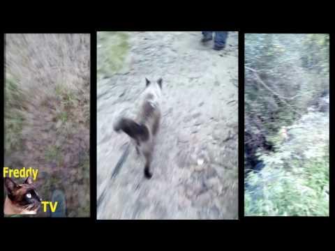 GATO SIAMÉS PRACTICANDO SENDERISMO. SIAMESE CAT PRACTICING HIKING