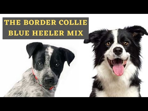 information-about-the-blue-heeler-border-collie-mix