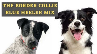Information About the Blue Heeler Border Collie Mix