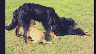 Hovawart del prestigioso allevamento del Conterissoso cuccioli e ad...