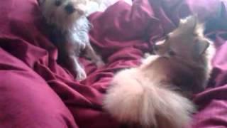 Yorkie Vs. Pomeranian Pt. 1 -