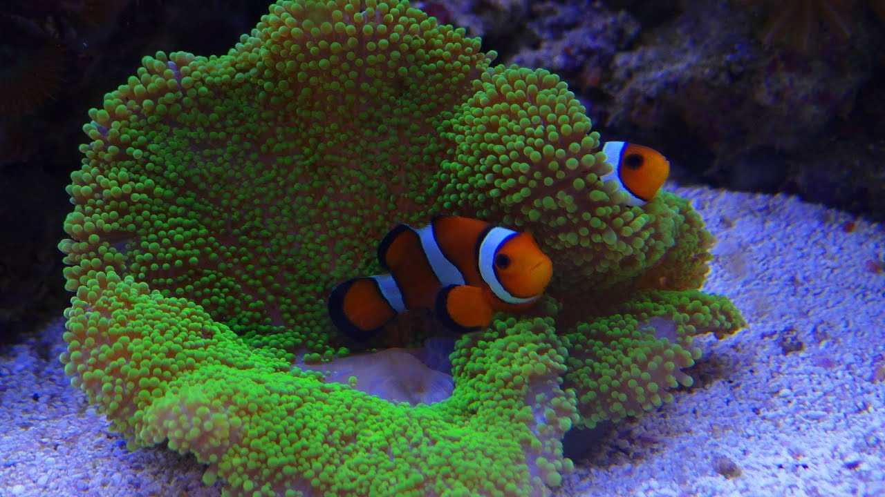 Driebands Anemoonvis Nemo Clownsvis Youtube