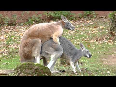 Kängurus bei der Paarung im Zoo Hannover