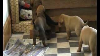 Cross Mastiff Pups