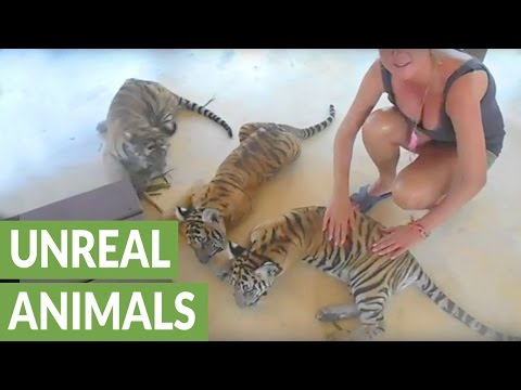 Getting up-close with playful tiger cubs at Thailand zoo