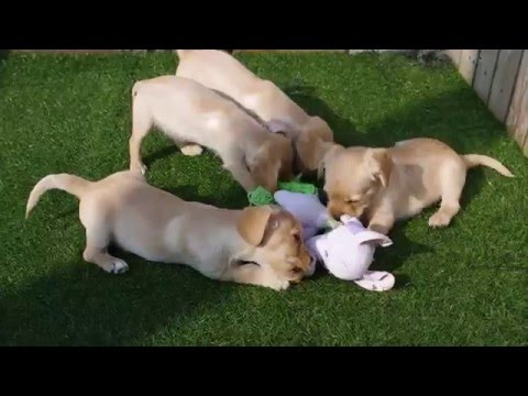 Cavalier x Westie pups