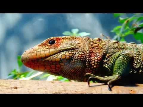 Dracaena guianensis - Daudin, 1802 - HD - Guyana Caiman Lizard - Zoologique de Paris - 09/2014