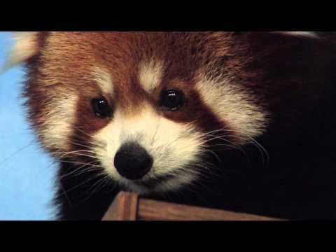 Red Pandas at Blank Park Zoo