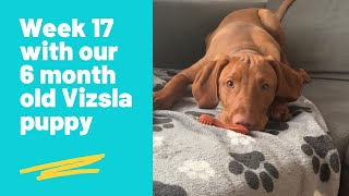 Week 17 with our 6 month old Vizsla puppy