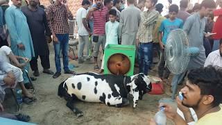 Faisalabad Goat Show 2018