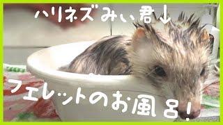お風呂の入れ方洗い方講座(笑) みぃ君の嫌がる顔をしつつも、入浴から...