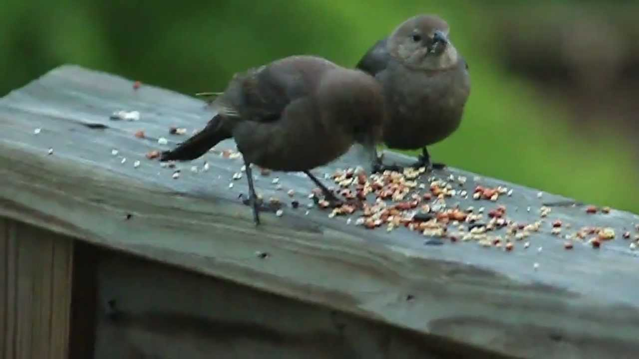 BROWN BIRDS NORTH CAROLINA - YouTube