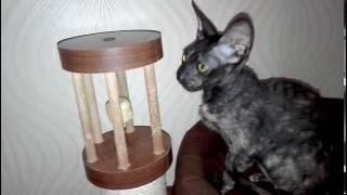 корниш рекс котенок, кошечка 4 мес Anais Kornelita
