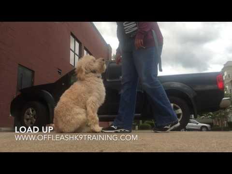 6 Months Goldendoodle, Brady!  Best Doodle Dog Trainers | Best Doodle Dog Training