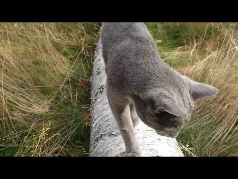 Caspian, a Russian blue cat, patrolling 'his' tree