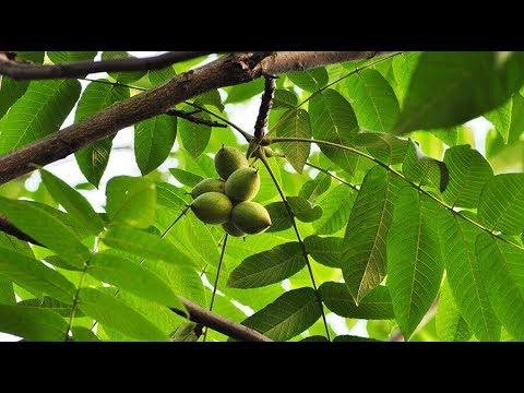 Плодовые деревья: виды, сорта и разновидности