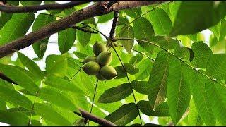 как  вырастить  дерево ореха маньчжурского (центральный регион РФ)