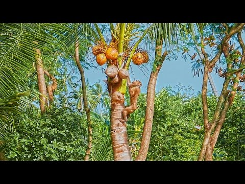 Funny Monkeys collect coconuts 2015 Thailand Koh Samui Tourism