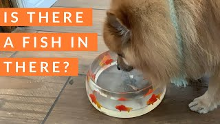 Dogs drinking Water from a Fish Bowl with Real Fish!