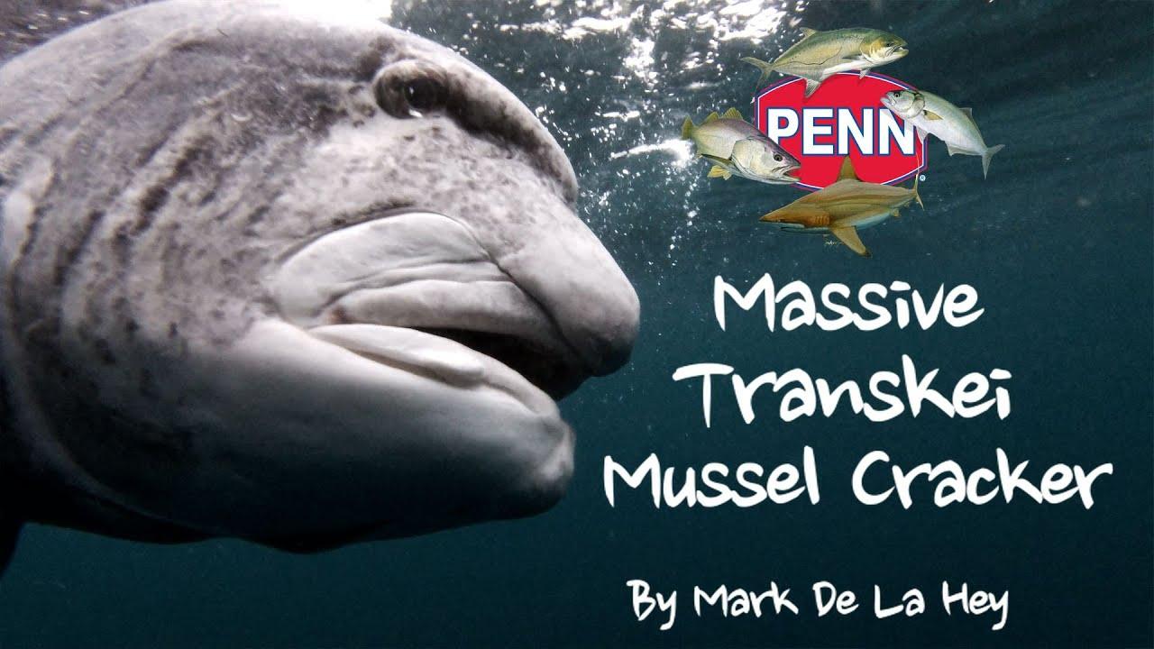 Download Massive Transkei Mussel Cracker Offshore