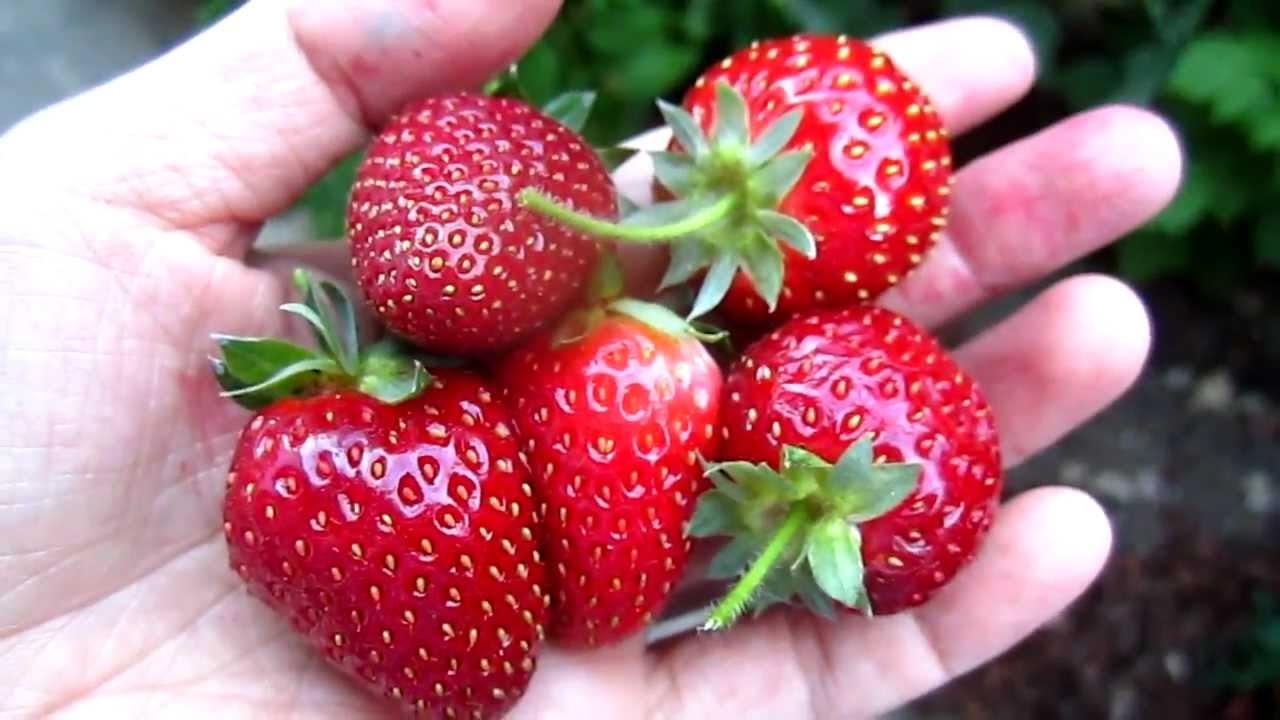 Backyard Harvesting Strawberry Youtube