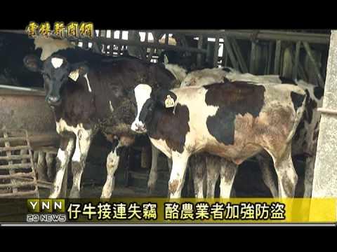 崙背仔牛被偷,酪農業者皮繃緊