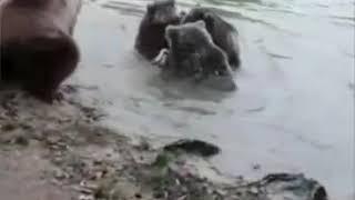 Волки до конца пытаются спасти одного из своих. Самое благородное животное. Символ Чеченцев
