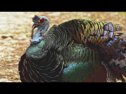12 11 Ocellated Turkey