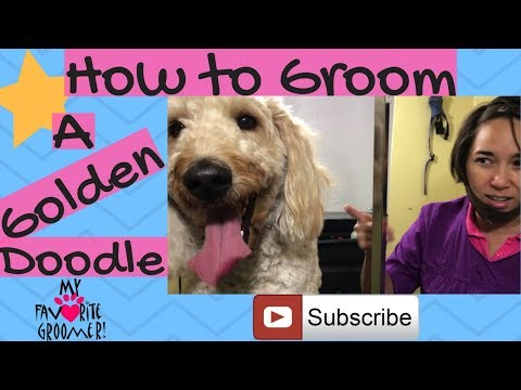 How to groom a Golden Doodle