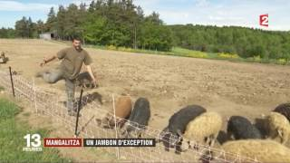 Le porc de Mangalitza, juin 2017