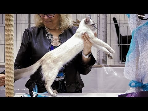 CFA International Cat Show 2018 - Shorthair Kitten class judging - 1