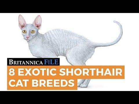 8 Exotic Shorthair Cat Breeds